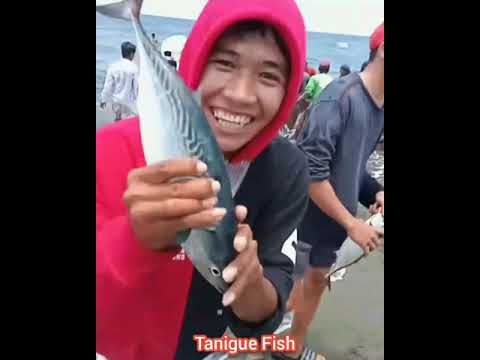 Tanigue Fish Go Up Into The Sea Shore. Everyone So Happy To Catch The Fish